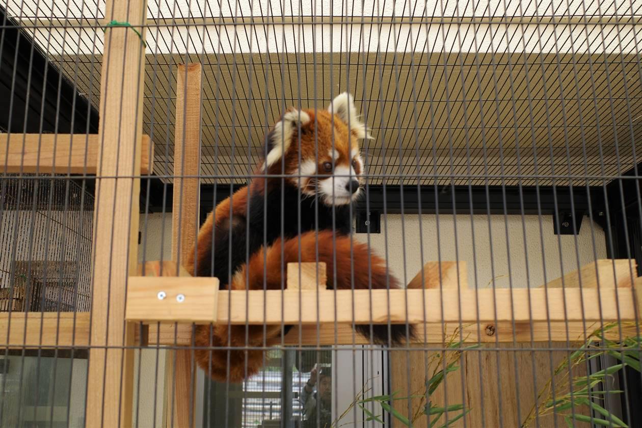 大島公園のレッサーパンダ