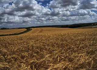 ripe grain, Winchester, UK