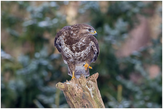 Common Buzzard - Buizerd (Buteo buteo) ...