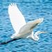 Great Egret por pringlecliff