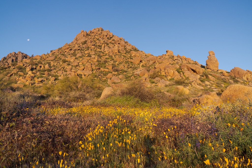 California poppies and Coulter's lupines bloom at sunrise in the Sonoran Desert in front of granite formations along the Marcus Landslide Trail in McDowell Sonoran Preserve in Scottsdale, Arizona