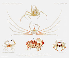Sea crab varieties vintage poster