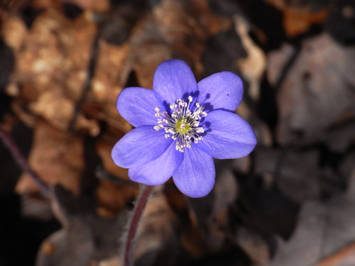 20110321 0208 321 Jakobus Blume blau