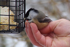 Black-Capped Chickadee with Ron
