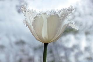 Tulip / Белее снега