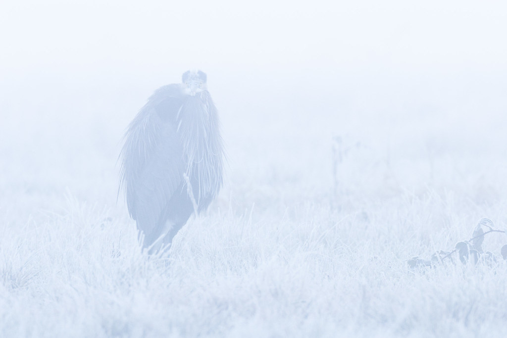 A great blue heron takes a break from hunting voles in a meadow at Ridgefield National Wildlife Refuge on a cold and foggy December morning in 2006