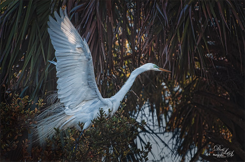 Image of a Great Egret getting ready to take off at the St. Augustine Alligator Farm