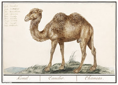 Camel in vintage style