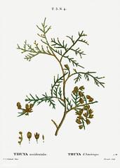 Northern white-cedar (Thuya occidentalis) illustration from Trai