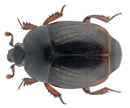Gnathoncus rotundatus (Kugelann, 1792)