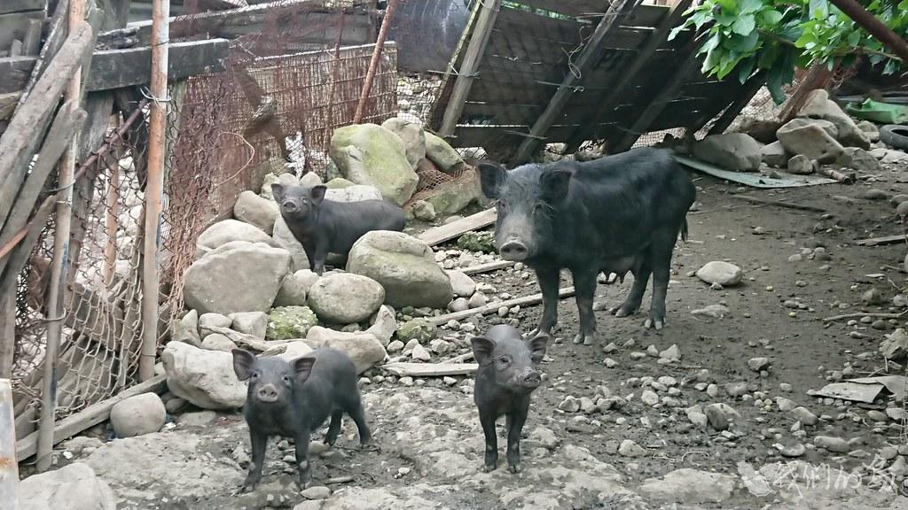 蘭嶼小耳豬是一種小型豬,耳朵小而直立,毛色黝黑,四肢又細又短。