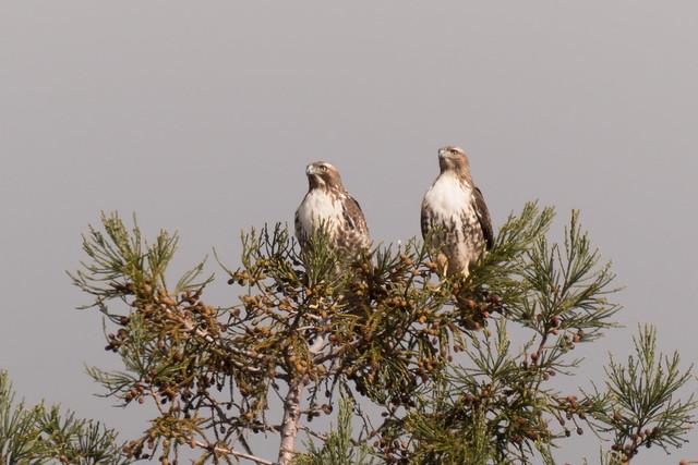 DSC 9275.jpg Red-tailed Hawks, Nikon D500, AF-S Nikkor 200-500mm f/5.6E ED VR
