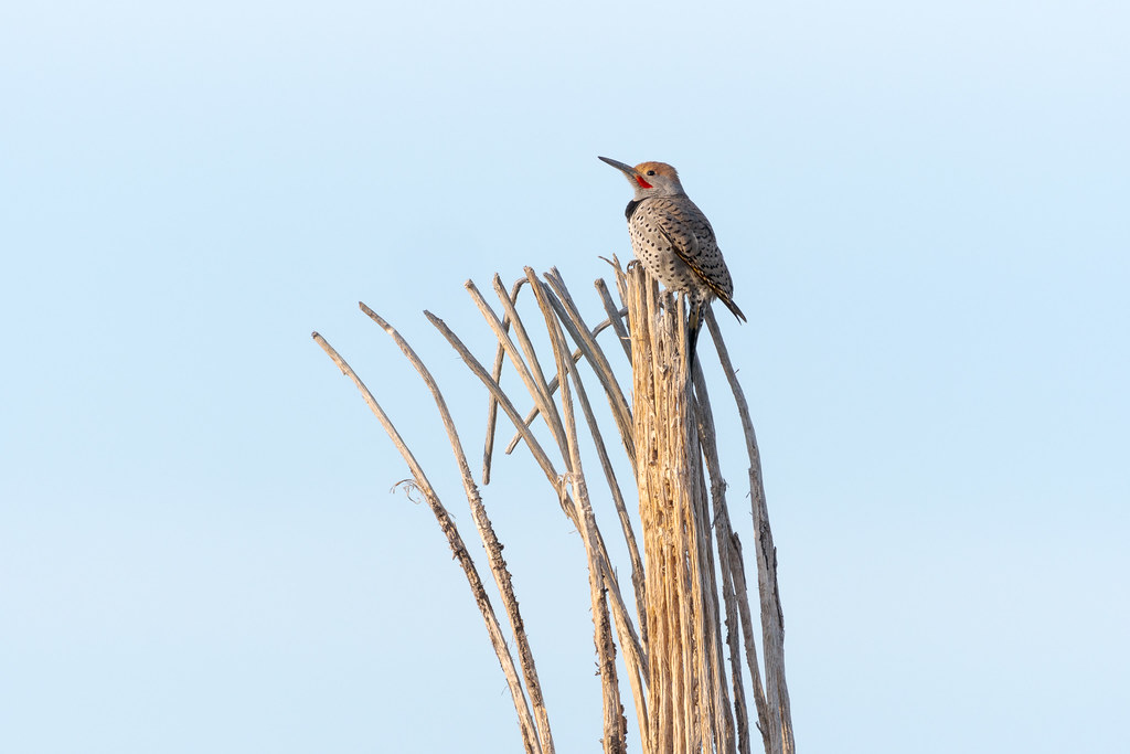 A male gilded flicker perches on a saguaro skeleton early on a winter's morning near the Kovach Family Nature Trail in the Lost Dog Wash section of McDowell Sonoran Preserve in Scottsdale, Arizona