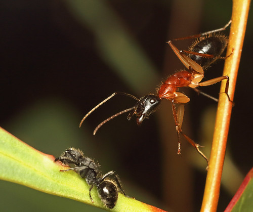 Black-headed Sugar Ant (Camponotus nigriceps) wanting to move someone else along from the nectar