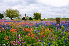 TexasWildflowers2019-0809