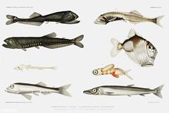 Deep sea fish varieties vintage poster