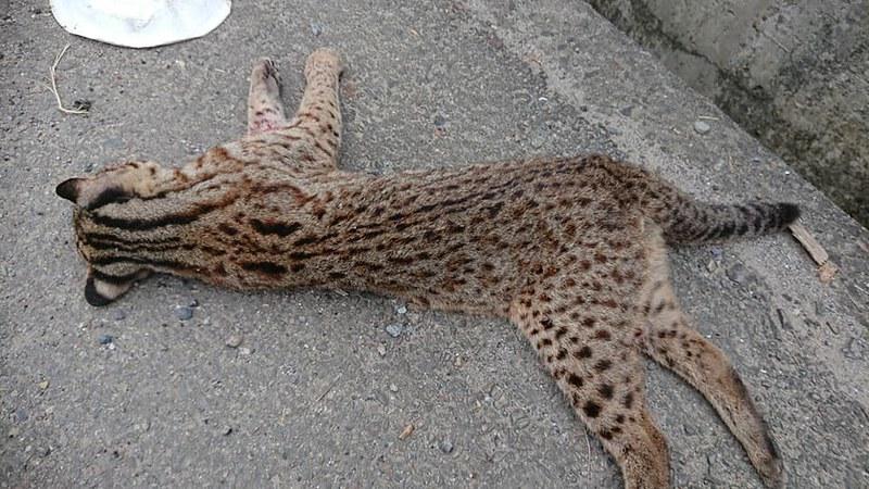 2019年1月20日苗栗第三隻死於路殺的石虎,地點在苗台13線38公里北往南