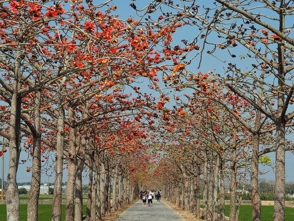 白河木棉花季 (1)