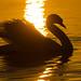 Schwan im goldenen Abendlicht