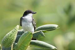 eastern kingbird bombay hook 8.9.18 DSC_0746