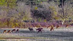 La chasse du Cerf