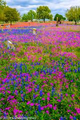 TexasWildflowers2019-0814