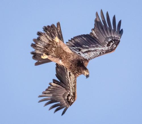Juvenile Eagle at Hooper's Island