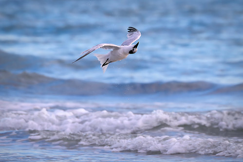 sandwichtern thalasseussandvicensis upsidedown birdinflight shakingoffwater sunset waves beach seabird shorebird whitneybeach gulfofmexico sarasota florida