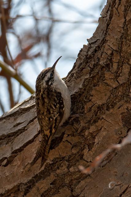 Bar-tailed treecreeper