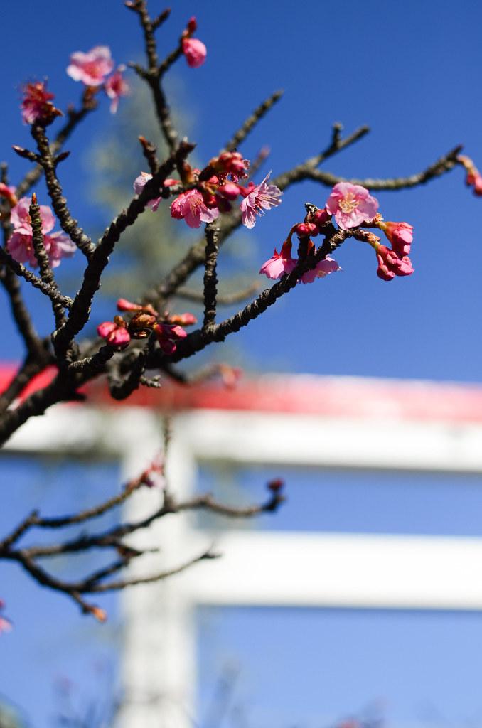 Cherry blossom, Daito no miya shrine, Kamakura