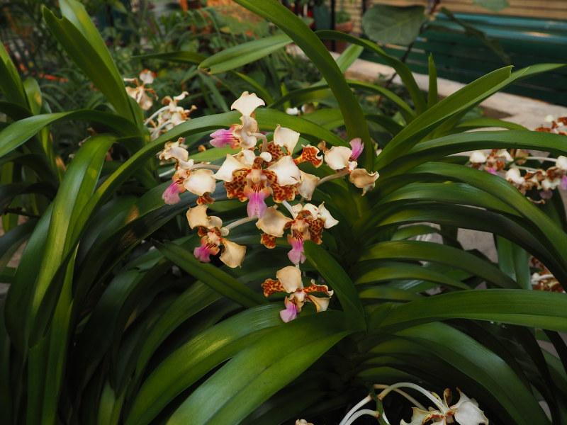 Orchidexpo 2017 - Photos 46567770472_2ca3e3982d_c