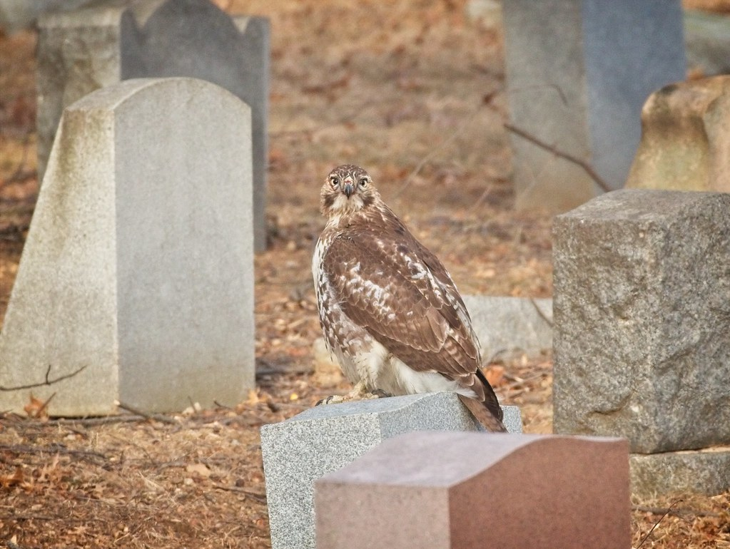 Red-tail in cemetery