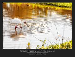Spatola africana - Platalea alba @Kruger National Park South Africa