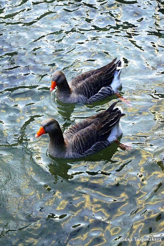 Утки в водах реки