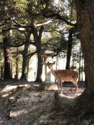 Sika Deer in Nara Kōen - Nara (Japan)