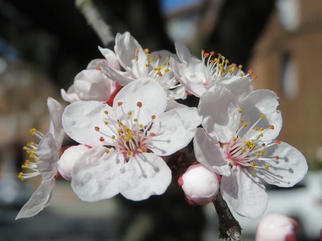 Sakura - blossom
