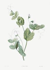 White pea flower