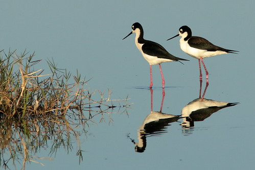 Black-necked Stilts 012-20190401