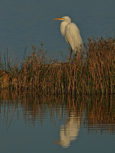 Great Egret 20190326
