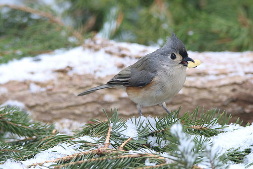 Tufted Titmouse | by marciaklue