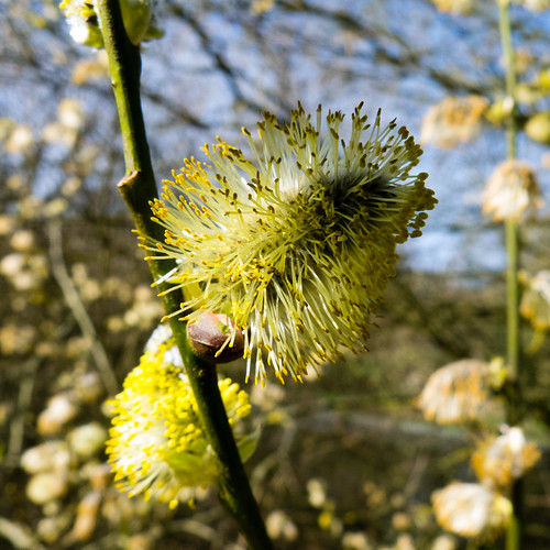 Pollen-tipped catkins