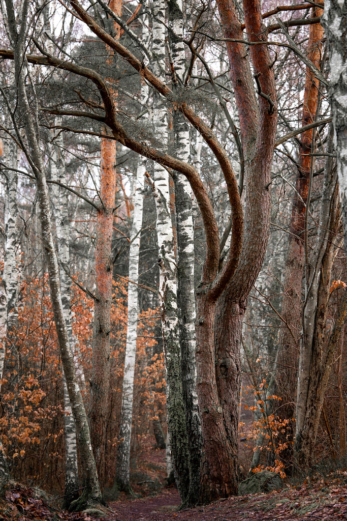 Imposing pine in the forest