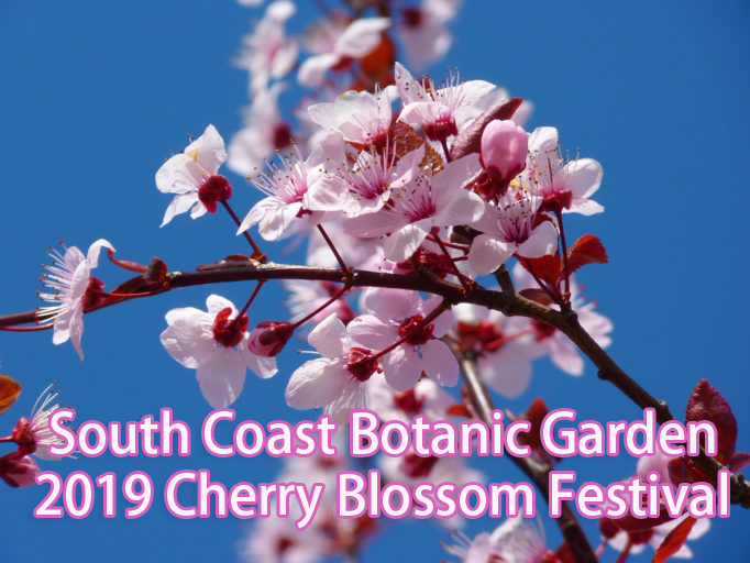 cherry-blossom-e1549645053581