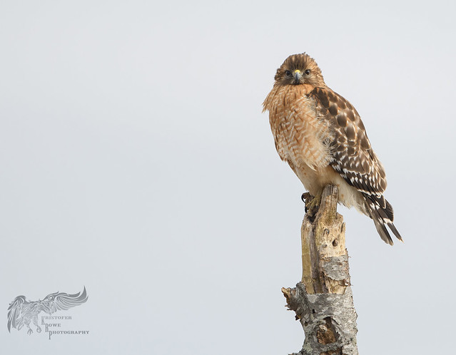Red Shouldered Hawk 2_11