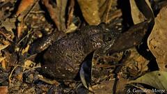 Rana de arroyo de cabeza ancha / Broad-headed Creek Frog (Limnonectes kong)