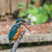 Kingfisher 1903171307.jpg