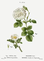 1. White rose of York (Rosa alba) 2. Burnet rose (Rosa pimpinell