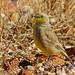 Gibberbird (Ashbyia lovensis) by David Cook Wildlife Photography