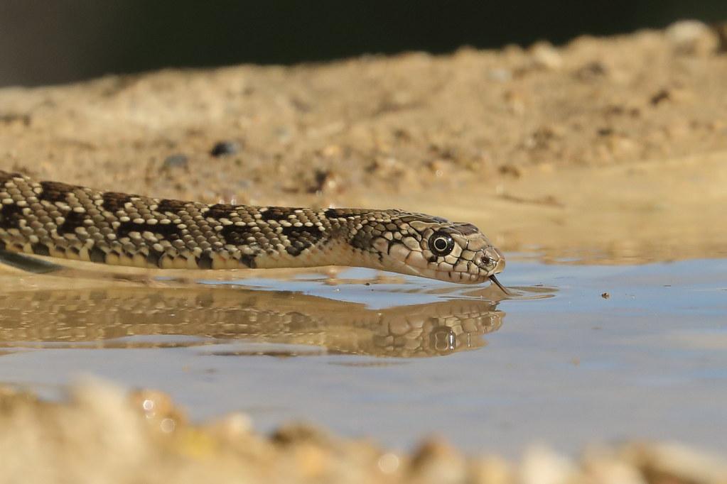 Horseshoe Whip Snake Hemorrhois hippocrepis
