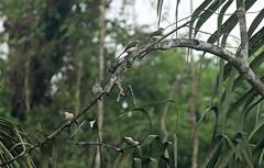 Swamp palm bulbuls Nsuta Forest Reserve in Ghana